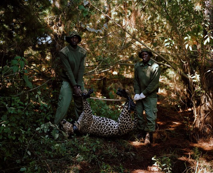 A leopard caught and killed in a poacher's snare is removed by rangers in Kisimi, northern ...
