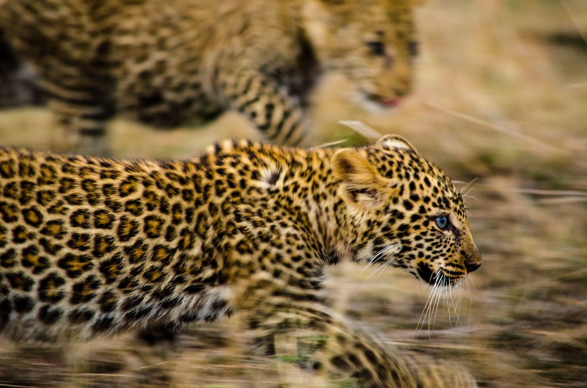 Two leopard cubs run to keep up with their mother as she leads them across a ...