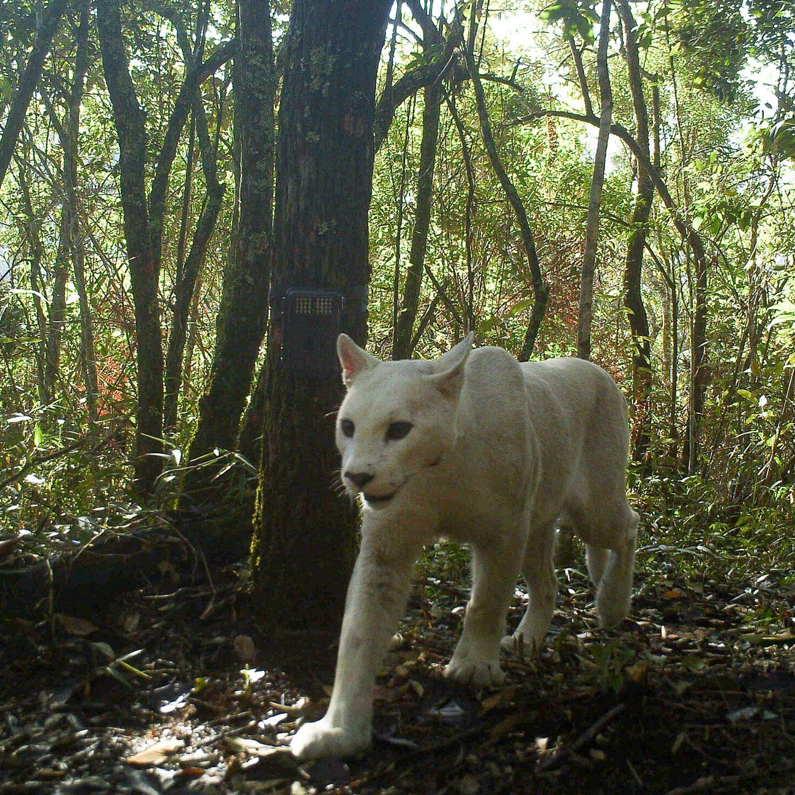 A leucistic cougar walks through southeastern Brazil's Serra dos Órgãos National Park on July 5, 2013. ...