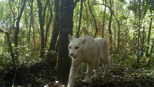 Extremely rare white cougar highlights a quirk of the species