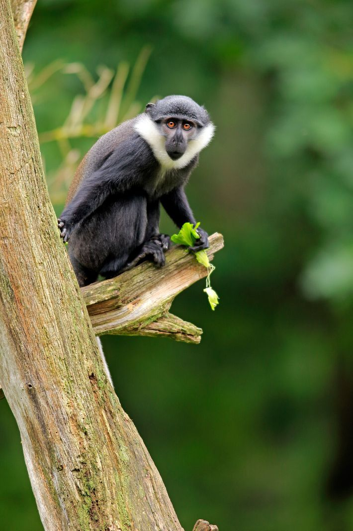 L'Hoest's monkeys, like this juvenile in captivity in the Netherlands, were also part of the group. ...