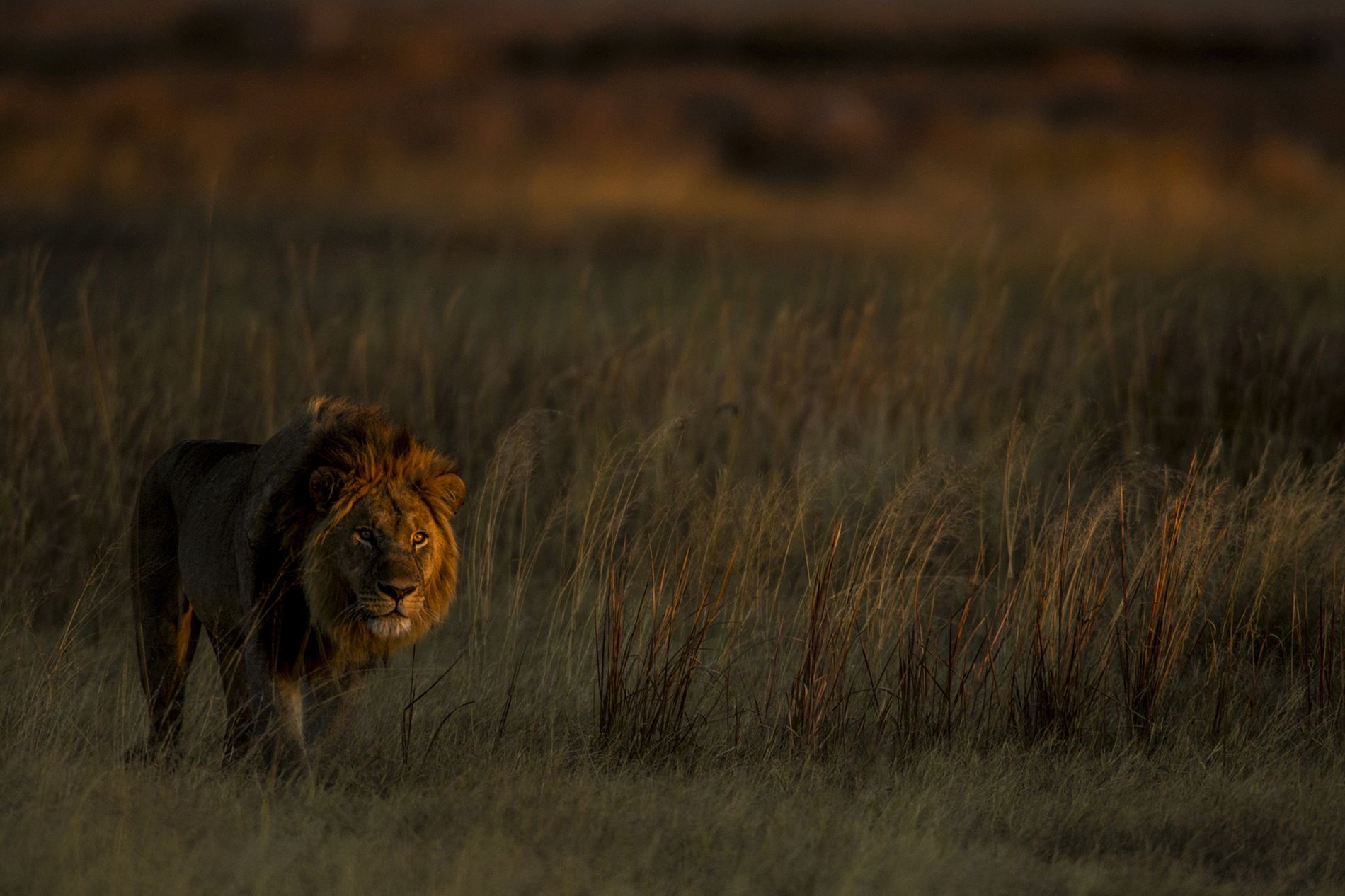 When hunting finally stopped in what is now the Solenda game reserve, there were two lions ...