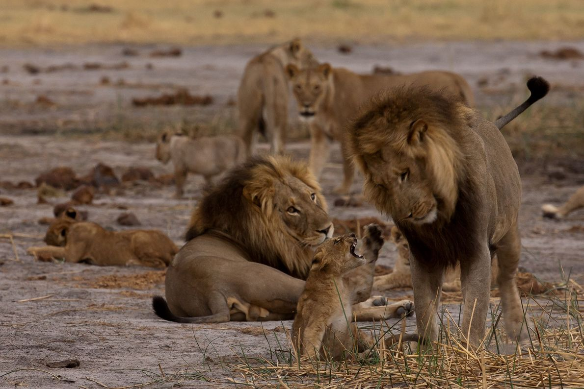 The young male cub is relentless in seeking attention from the males.