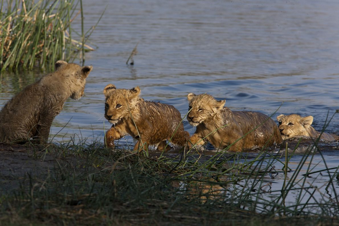 The lion cubs were reticent to cross at the river at first. Life is tough for ...
