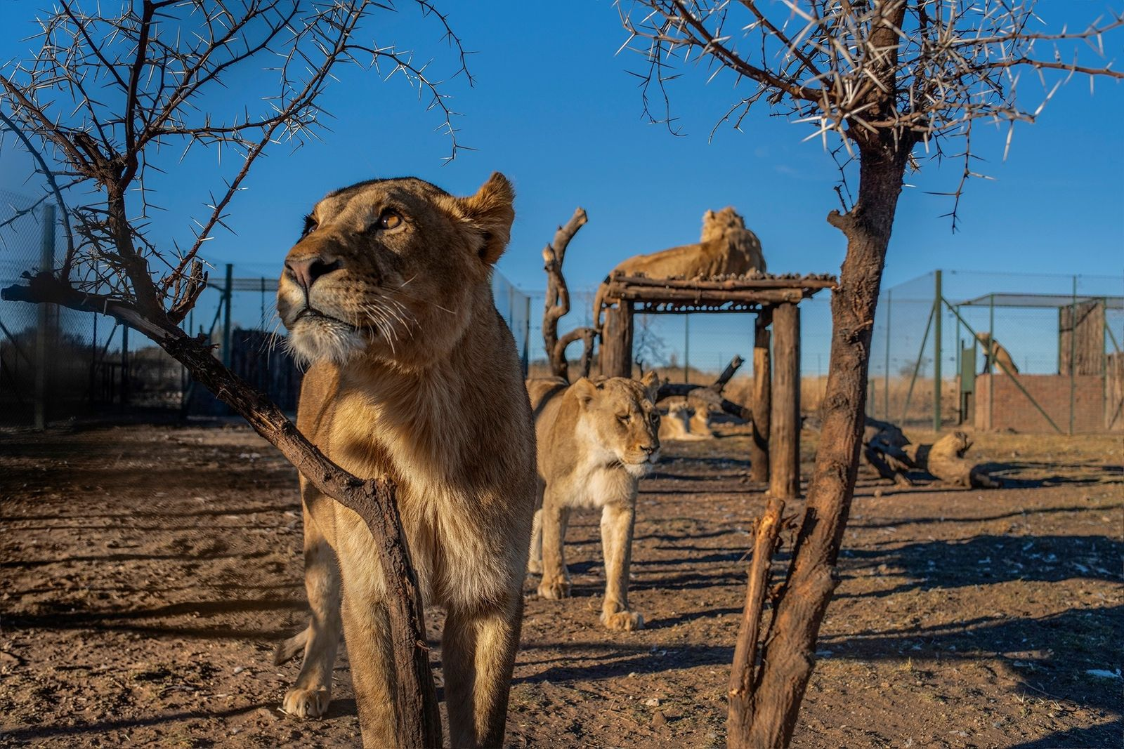 During an April 2019 welfare inspection of Pienika Farm, in South Africa's North West Province, many ...