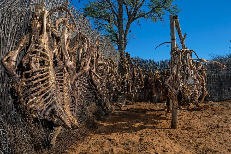 Lion skeletons hang to dry before being exported. South Africa has an annual lion-bone export quota, ...