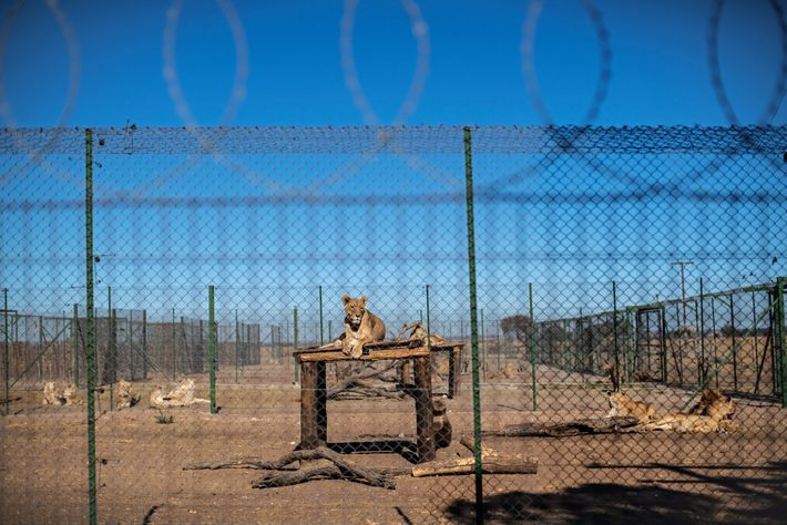 According to the norms and standards of the South African Predator Association, which counts Pienika owner ...