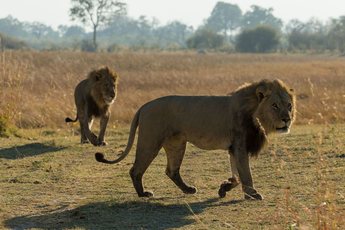 The first two male lions arrive in Selinda.