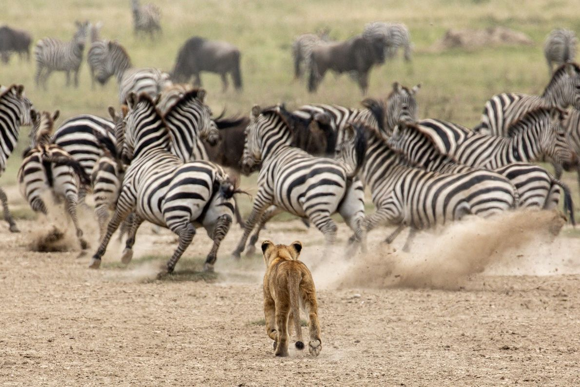 We were following the Great Migration at the Serengeti. On that day our driver brought us ...