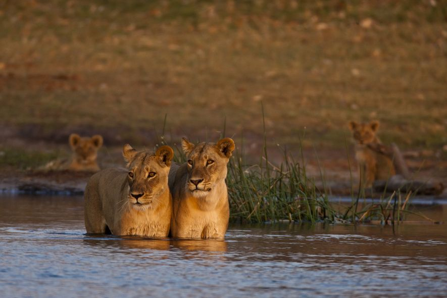 Two lionesses in Selinda survey the water for danger as they make the first crossing.