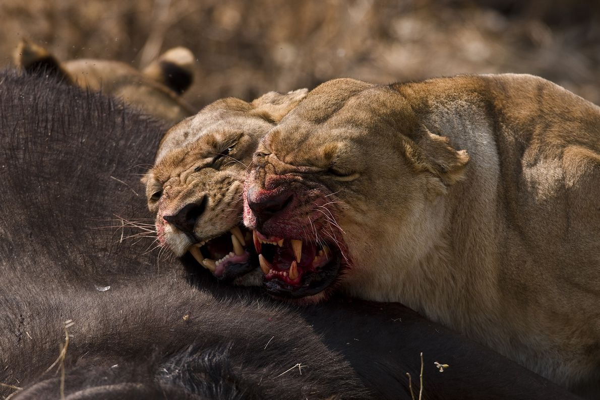 Two female lions have a minor disagreement after cooperating to take down a buffalo.