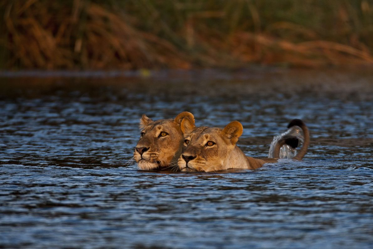 After a third attempt failed to get the two cubs to cross, the lionesses returned the ...