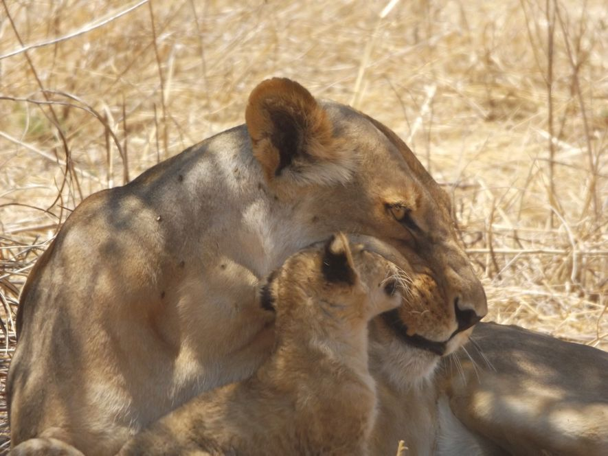 """Future generations should know and be able to experience these incredible wild animals."" A lioness with ..."
