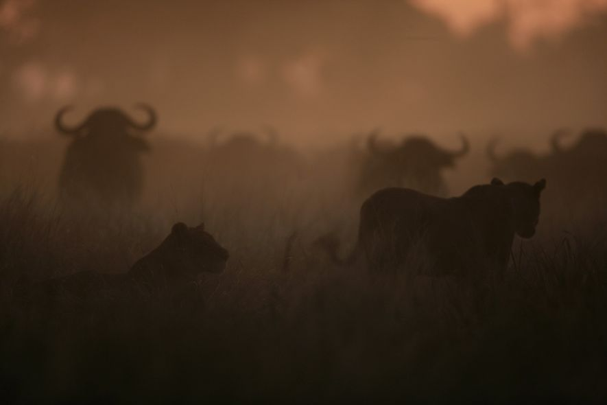 Lions take advantage of dust to create confusion in the buffalo herd and make a successful ...