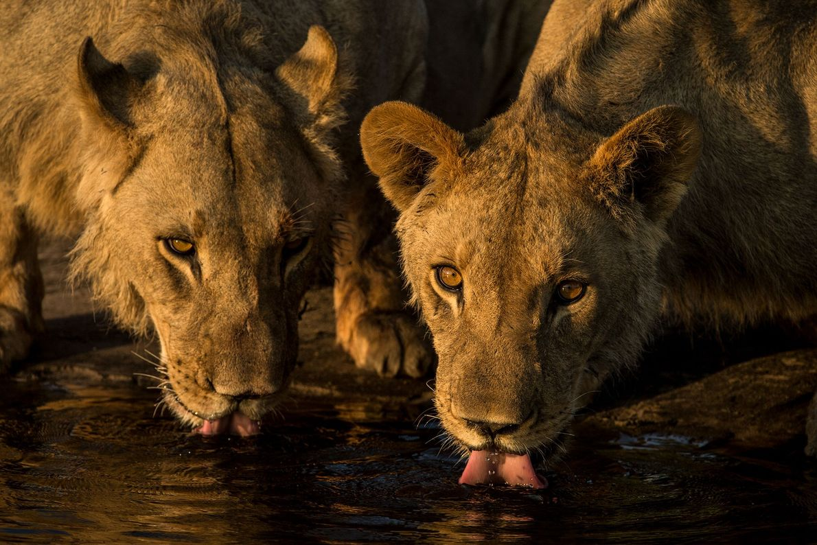 The adolescent lions drink the water that once scared them; water is the lifeblood of the ...