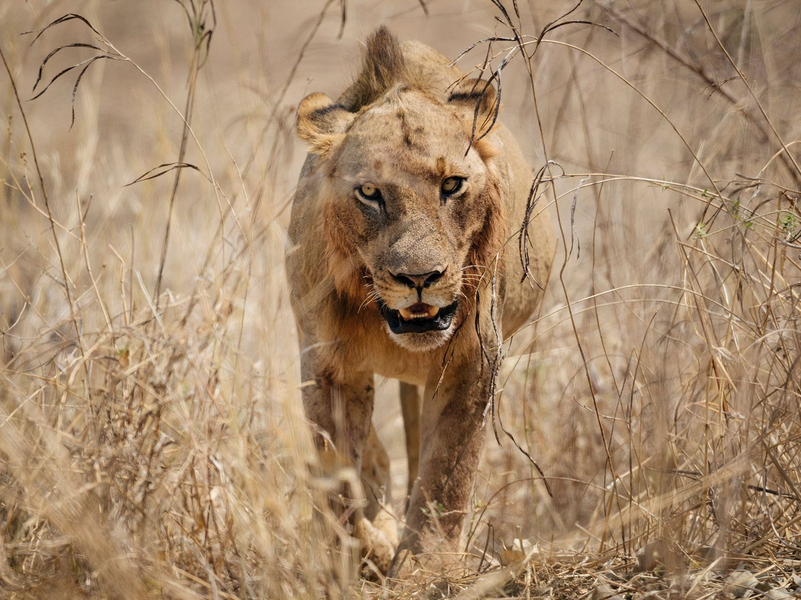 A male lion prowls through the grass in Zambia's South Luangwa National Park.
