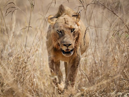 Where lions are king: How to track the big cats in Zambia