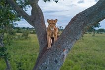A lioness rests in the fork of a tree in Uganda's Queen Elizabeth National Park. With ...