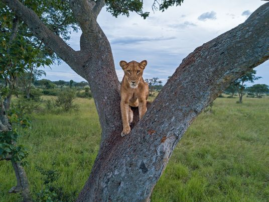 Why we don't really know how many lions live in Africa