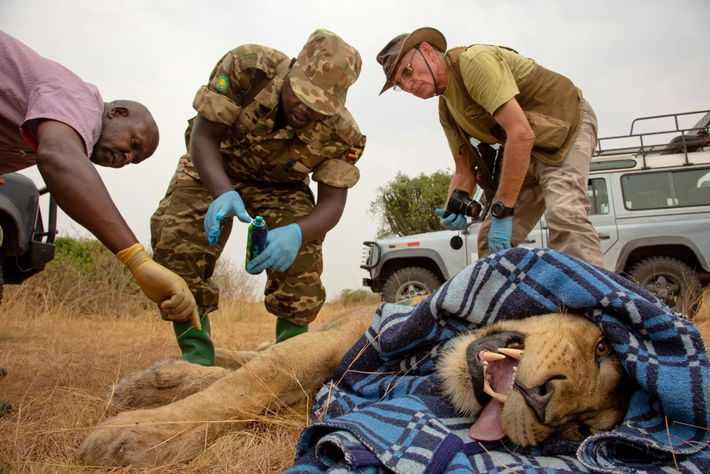 Researchers and rangers fit a male lion with new satellite collar in Queen Elizabeth National Park. ...