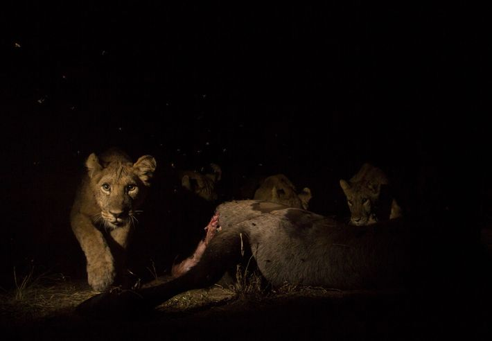 A young lion eating a waterbuck triggers a remote camera trap. By collecting high-resolution photos of ...