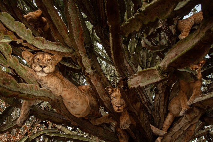 Six-month-old cubs relax in a tree. While scientists may disagree over the best methods to count ...