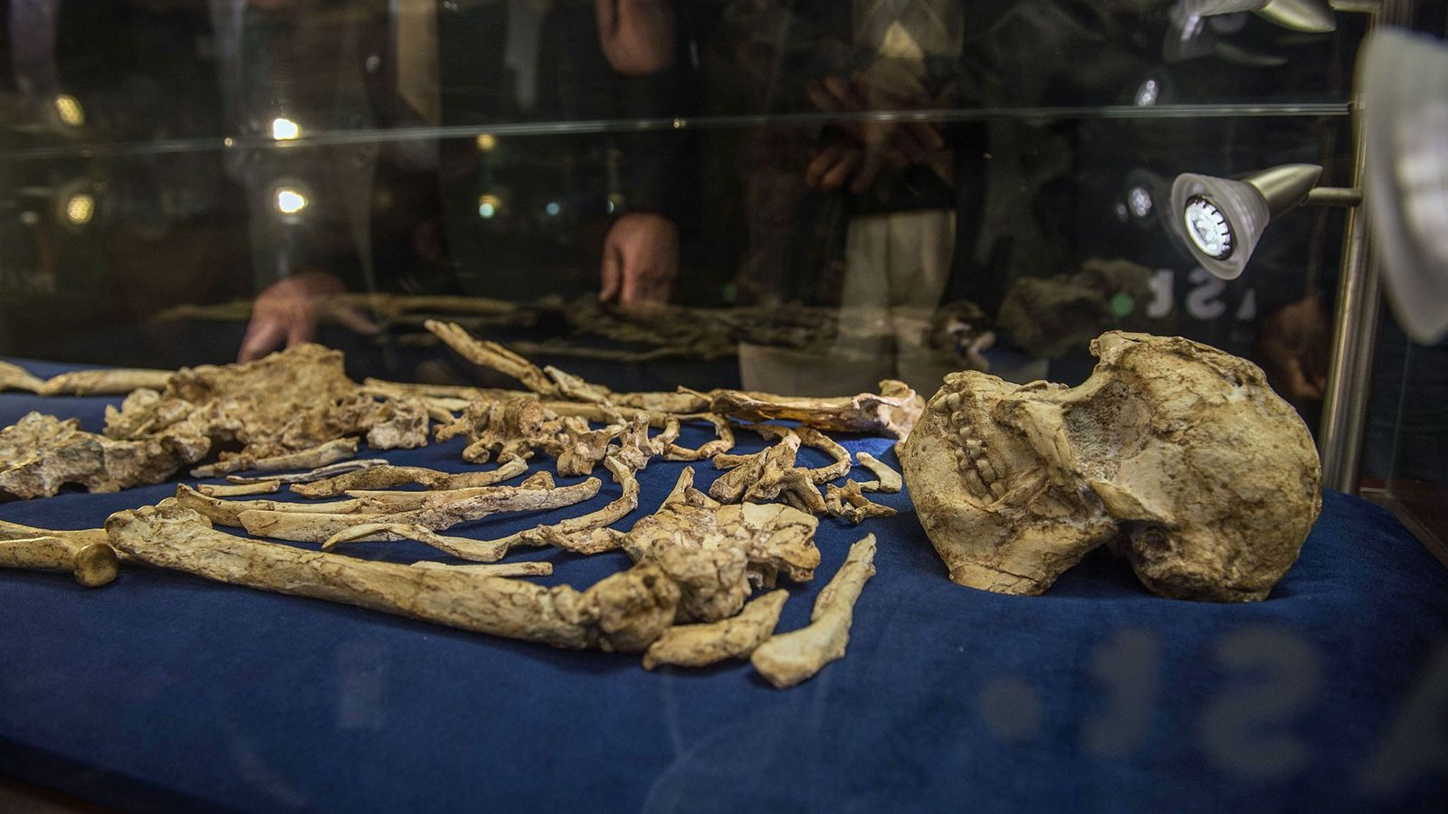 The skull of 'Australopithecus prometheus', known as 'Little Foot', is on display now.