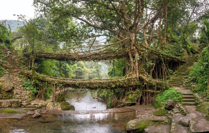 Umshiang, a double-decker (soon to be triple-decker) root bridge, is expected to survive several hundred years ...
