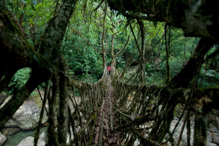The name gives it all away: The Living Root Bridge is made from grounded tree roots, ...