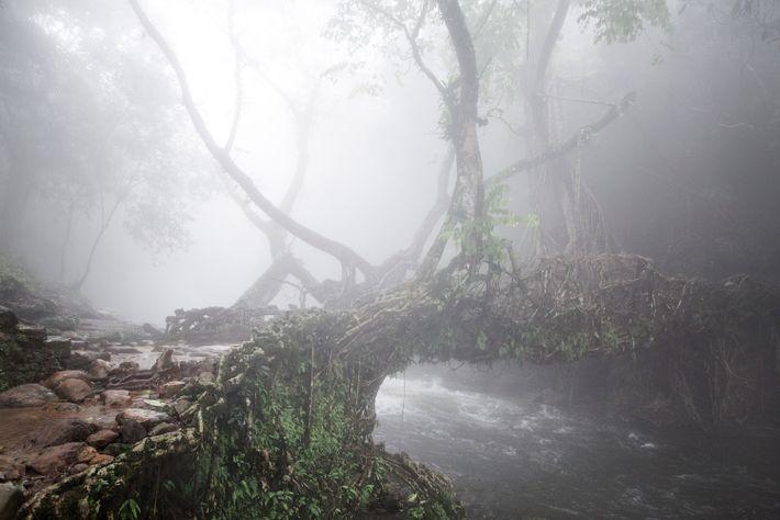 A veil of fog sweeps across a living root bridge in the East Khasi Hills.