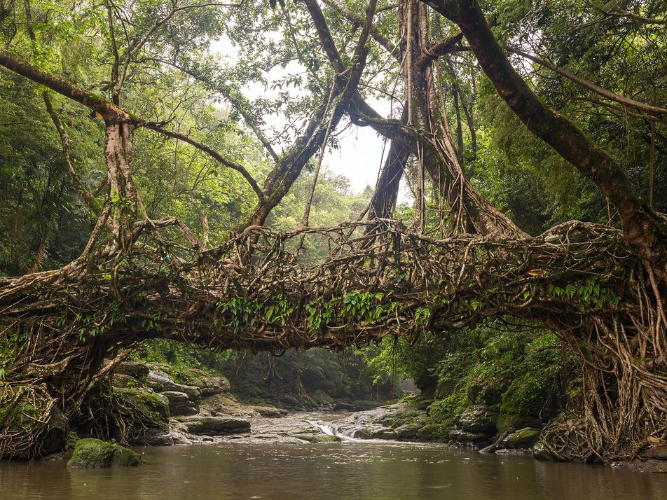 Living tree bridges in India stand strong for hundreds of years