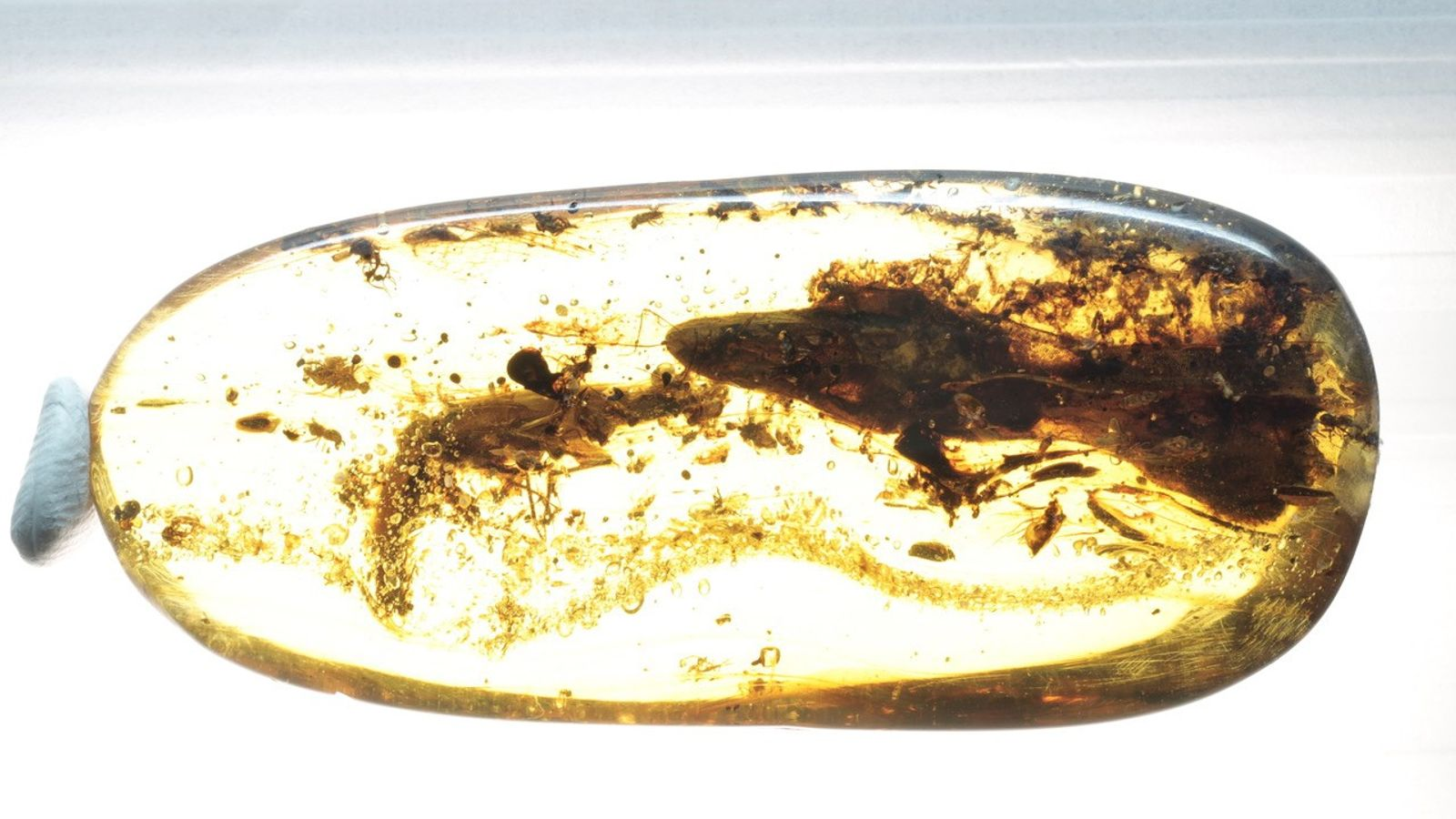 This cut and polished lump of amber holds the second known specimen of Oculudentavis, and the ...