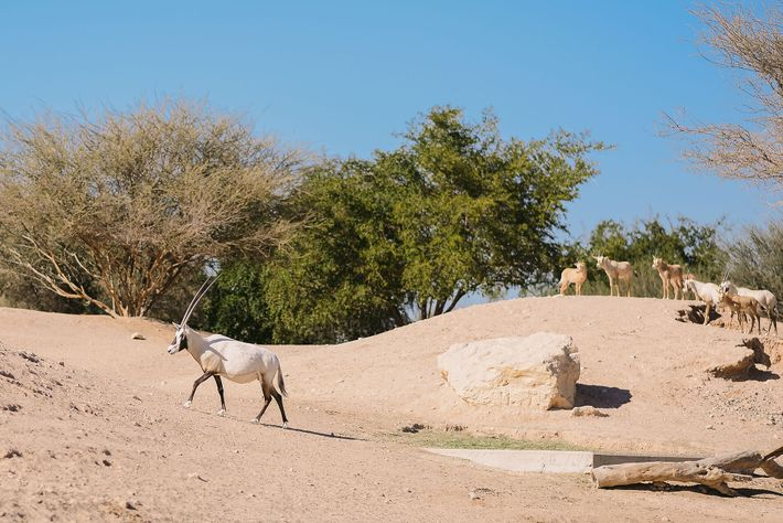 Wild oryx became extinct in Oman in the 1970s, but a reintroduction programme is proving extremely ...
