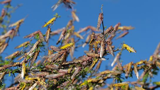 An adult desert locust is one of the most destructive migratory pests in the world: It ...
