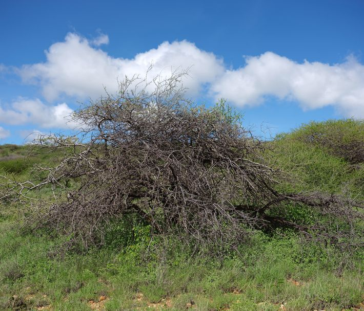 Desert locusts tend to feed on green vegetation and can pick plants bare, including this bush ...