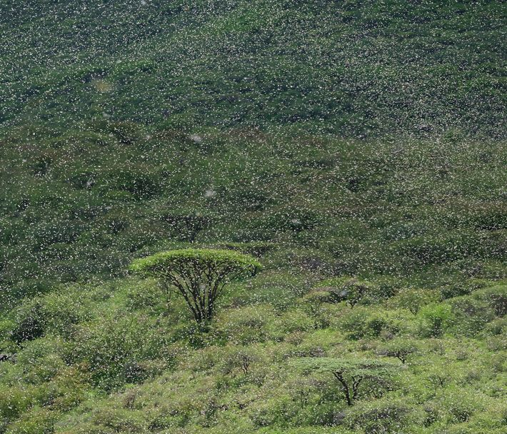 A large swarm of locusts descends on acacia trees in northern Kenya in April. Swarms can ...