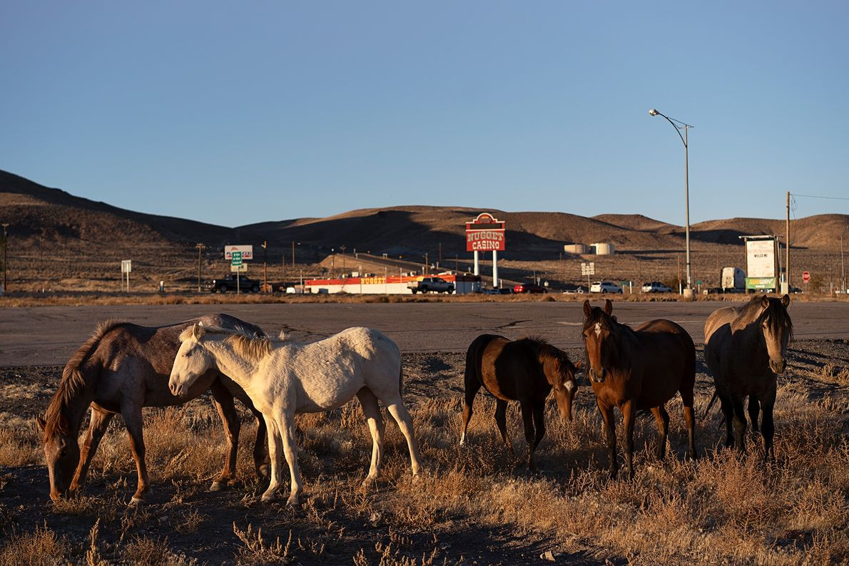 A group of horses from an open ranch walks through the small town Silver Springs, Nevada.