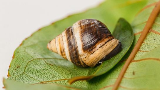 George the tree snail ('Achatinella apexfulva') died on January 1, 2019, at the age of 14. ...