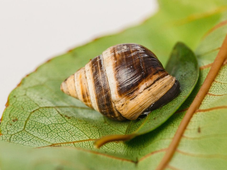 'Lonely George' the snail has died, marking the extinction of his species