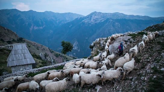 At dusk, sheep return from pasture to Lukomir village on Bjelašnica mountain in Bosnia and Herzegovina.