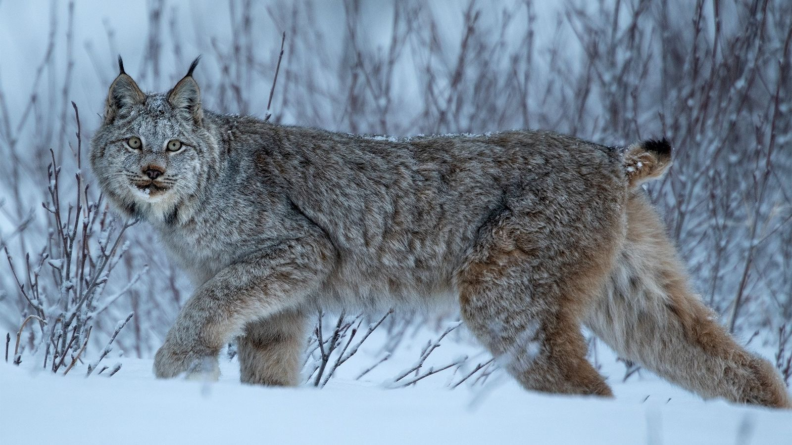 A Canada lynx blends into snow-covered willows in southern Yukon Territory, Canada.