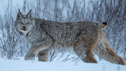 Lynx take epic, 2,000-mile treks—but why is a mystery