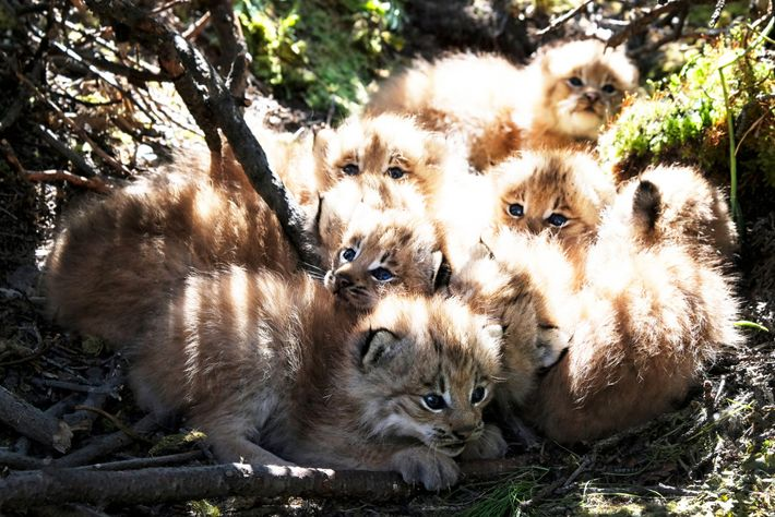 Lynx kittens snuggle together in Alaska in spring 2019. Scientists are finding larger litter sizes than ...