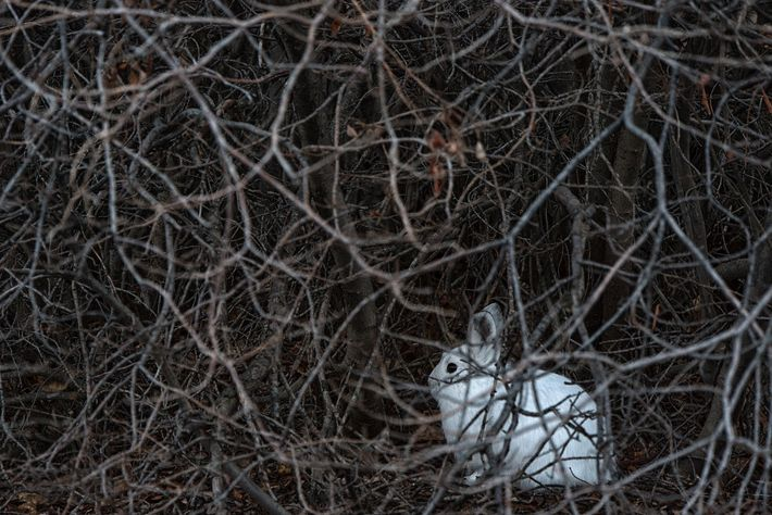 A snowshoe hare hides in the brush. The small mammals experience boom-and-bust cycles that can last ...