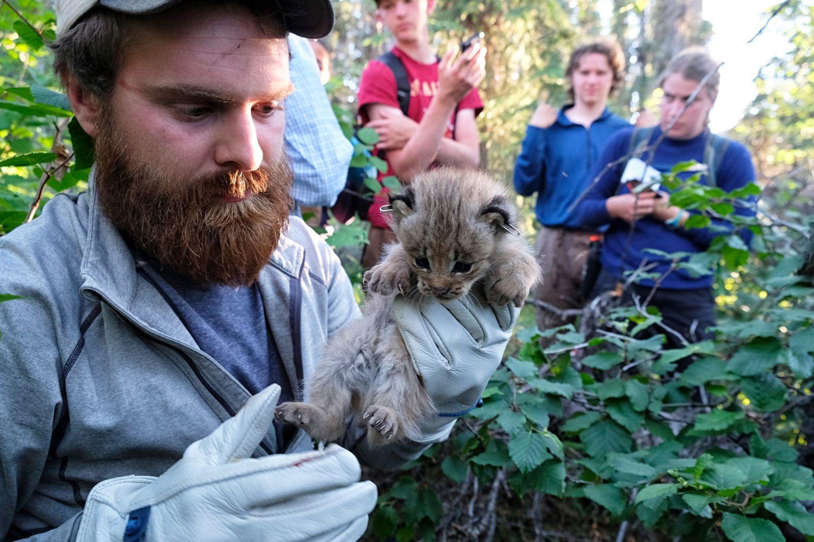 A scientist with the University of Alaska Fairbanks examines a lynx kitten in Alaska in spring ...