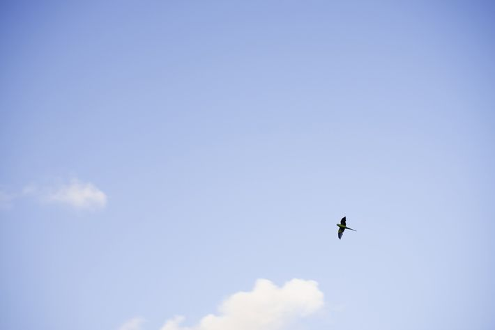An Indian Ringneck Parakeet flies from tree to tree in Hyde Park, London. Thousands of feral ...