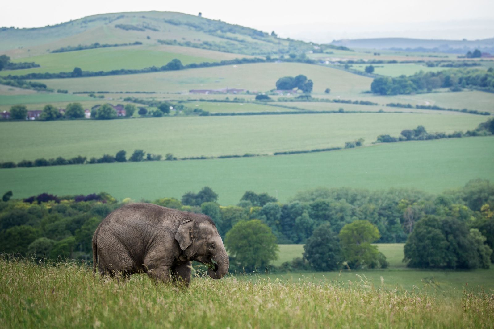 An Asian elephant in an enclosure at Whipsnade Zoo. Opening in 1931, it is the UK's ...