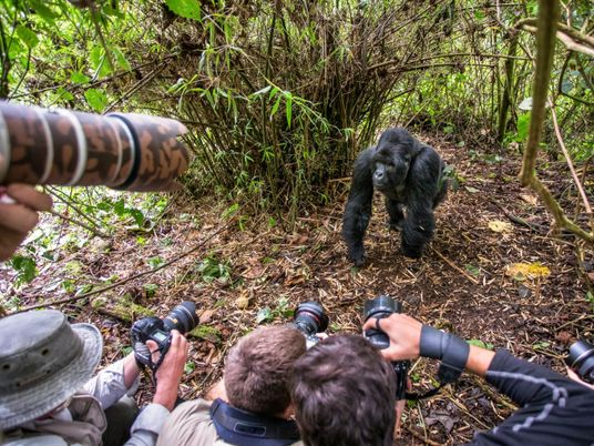 Selfie-taking tourists risk giving wild gorillas COVID-19, other diseases
