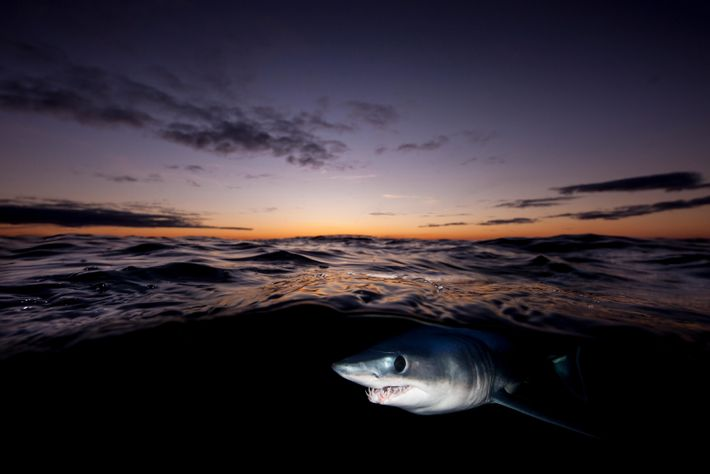 The shortfin mako – here seen off the coast of New Zealand – is sometimes called ...