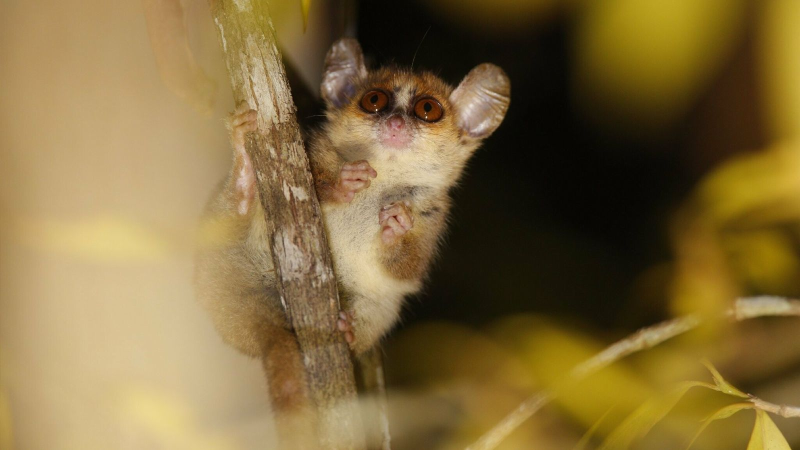 Mouse lemurs such as critically endangered Microcebus berthae are so small they can fit in the ...